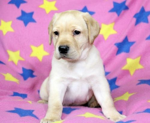 ラブラドールレトリバーの子犬(ID:1247611115)の1枚目の写真/更新日:2017-02-27