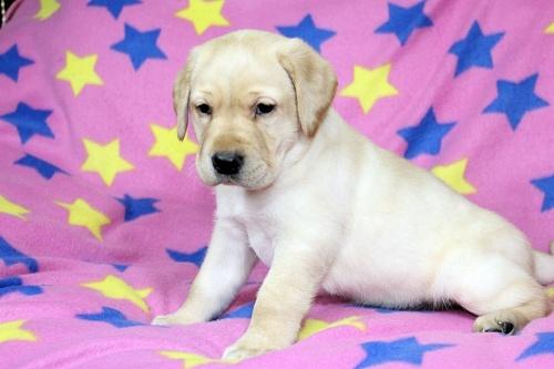 ラブラドールレトリバーの子犬(ID:1247611115)の2枚目の写真/更新日:2017-02-27