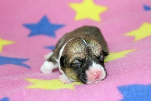 ウェルシュ・コーギー・ペンブロークの子犬(ID:1247611118)の1枚目の写真/更新日:2017-05-06