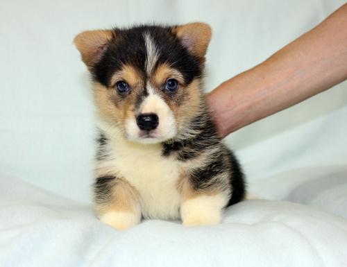 ウェルシュ・コーギー・ペンブロークの子犬(ID:1247611119)の1枚目の写真/更新日:2017-07-09