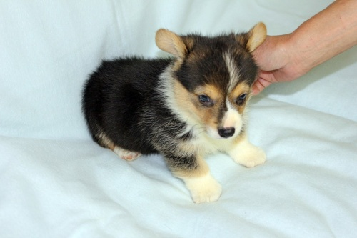 ウェルシュ・コーギー・ペンブロークの子犬(ID:1247611119)の3枚目の写真/更新日:2017-06-10