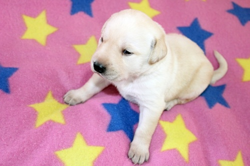 ラブラドールレトリバーの子犬(ID:1247611120)の2枚目の写真/更新日:2017-06-10