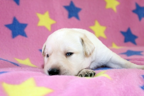 ラブラドールレトリバーの子犬(ID:1247611120)の3枚目の写真/更新日:2017-06-10
