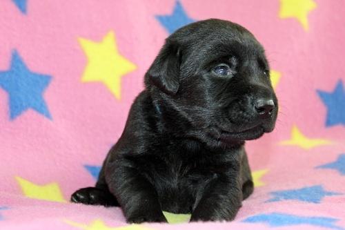 ラブラドールレトリバーの子犬(ID:1247611123)の1枚目の写真/更新日:2017-06-10