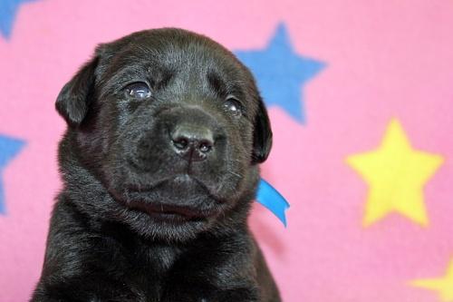 ラブラドールレトリバーの子犬(ID:1247611123)の3枚目の写真/更新日:2017-06-10