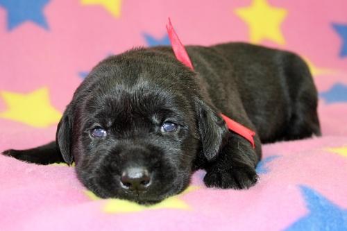 ラブラドールレトリバーの子犬(ID:1247611124)の2枚目の写真/更新日:2017-06-10