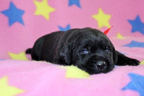 ラブラドールレトリバーの子犬(ID:1247611124)の3枚目の写真/更新日:2017-06-10