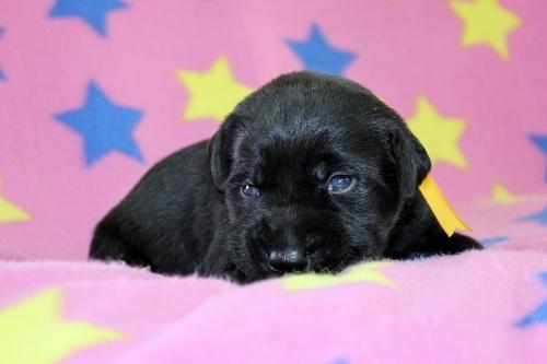 ラブラドールレトリバーの子犬(ID:1247611125)の3枚目の写真/更新日:2017-06-10