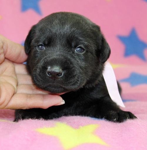 ラブラドールレトリバーの子犬(ID:1247611126)の1枚目の写真/更新日:2017-06-10