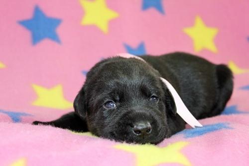 ラブラドールレトリバーの子犬(ID:1247611126)の3枚目の写真/更新日:2017-06-10
