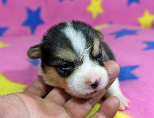 ウェルシュ・コーギー・ペンブロークの子犬(ID:1247611127)の1枚目の写真/更新日:2017-07-01