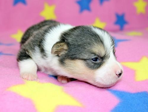 ウェルシュ・コーギー・ペンブロークの子犬(ID:1247611127)の2枚目の写真/更新日:2017-07-01