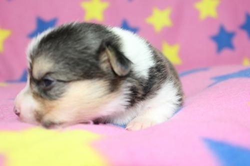 ウェルシュ・コーギー・ペンブロークの子犬(ID:1247611127)の4枚目の写真/更新日:2017-07-01