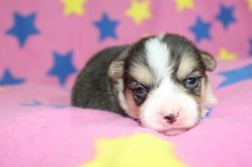 ウェルシュ・コーギー・ペンブロークの子犬(ID:1247611127)の5枚目の写真/更新日:2017-07-01