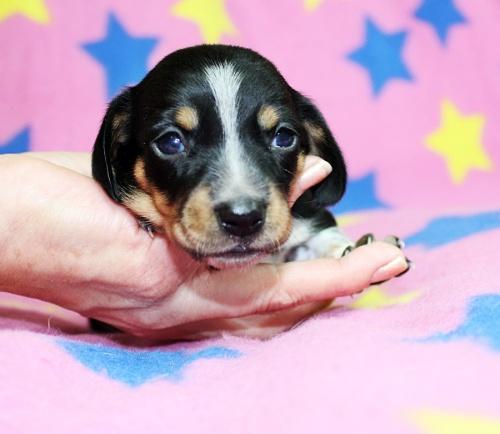 ミニチュアダックスフンド(スムース)の子犬(ID:1247611128)の1枚目の写真/更新日:2017-07-01