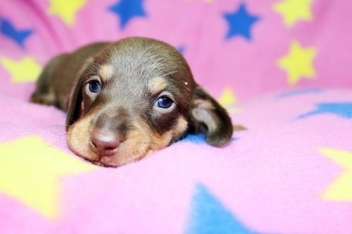 ミニチュアダックスフンド(スムース)の子犬(ID:1247611129)の3枚目の写真/更新日:2017-07-01