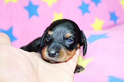 ミニチュアダックスフンド(ロング)の子犬(ID:1247611130)の1枚目の写真/更新日:2017-07-01