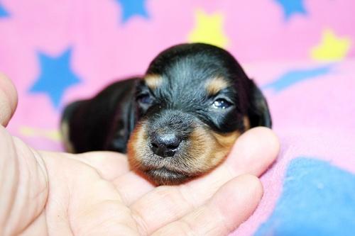 ミニチュアダックスフンド(ロング)の子犬(ID:1247611130)の3枚目の写真/更新日:2017-07-01