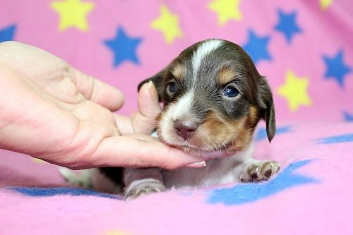 ミニチュアダックスフンド(ロング)の子犬(ID:1247611131)の1枚目の写真/更新日:2017-07-01