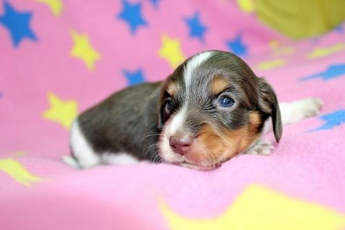 ミニチュアダックスフンド(ロング)の子犬(ID:1247611131)の2枚目の写真/更新日:2017-07-01
