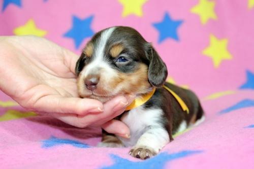 ミニチュアダックスフンド(ロング)の子犬(ID:1247611132)の2枚目の写真/更新日:2017-07-01