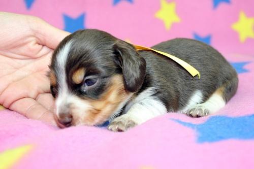 ミニチュアダックスフンド(ロング)の子犬(ID:1247611132)の3枚目の写真/更新日:2017-07-01