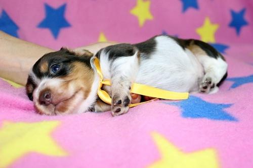 ミニチュアダックスフンド(ロング)の子犬(ID:1247611132)の4枚目の写真/更新日:2017-07-01