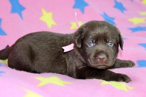 ラブラドールレトリバーの子犬(ID:1247611133)の2枚目の写真/更新日:2017-09-01