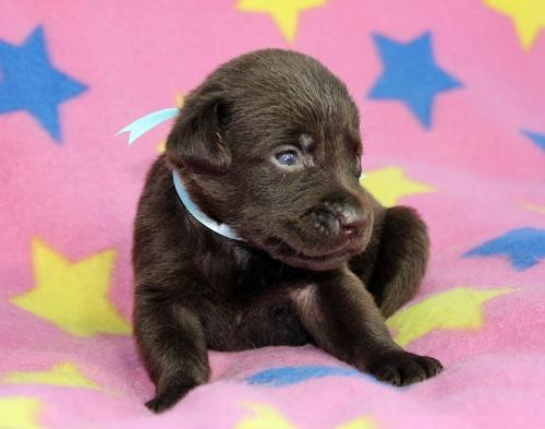ラブラドールレトリバーの子犬(ID:1247611134)の2枚目の写真/更新日:2017-09-01