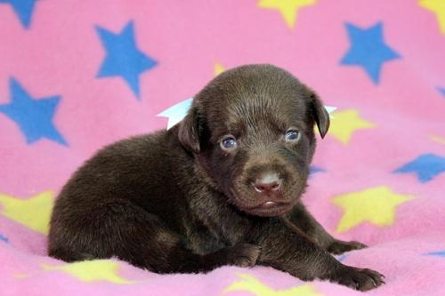 ラブラドールレトリバーの子犬(ID:1247611134)の3枚目の写真/更新日:2017-09-01
