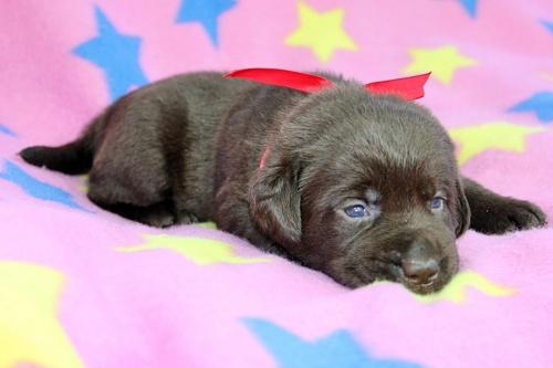 ラブラドールレトリバーの子犬(ID:1247611136)の2枚目の写真/更新日:2017-09-01