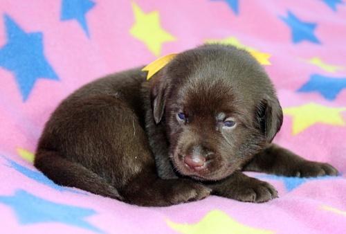 ラブラドールレトリバーの子犬(ID:1247611138)の2枚目の写真/更新日:2017-09-01