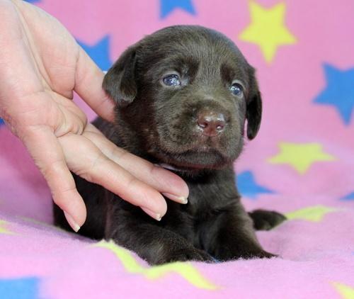ラブラドールレトリバーの子犬(ID:1247611139)の1枚目の写真/更新日:2017-09-01