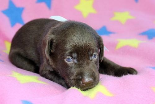 ラブラドールレトリバーの子犬(ID:1247611139)の2枚目の写真/更新日:2017-09-01