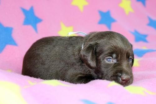 ラブラドールレトリバーの子犬(ID:1247611139)の3枚目の写真/更新日:2017-09-01