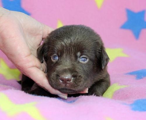 ラブラドールレトリバーの子犬(ID:1247611140)の1枚目の写真/更新日:2017-09-01