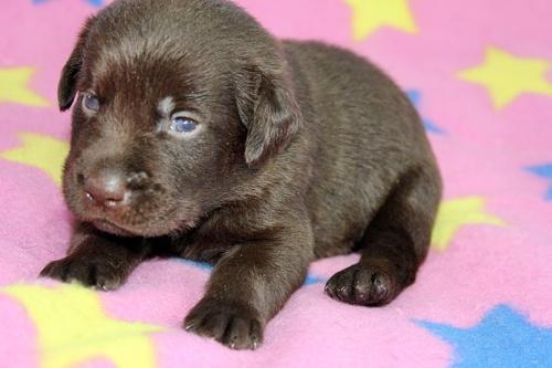 ラブラドールレトリバーの子犬(ID:1247611140)の2枚目の写真/更新日:2017-09-01