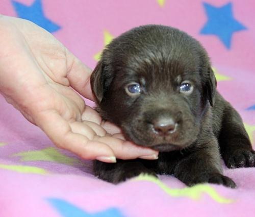 ラブラドールレトリバーの子犬(ID:1247611140)の3枚目の写真/更新日:2017-09-01