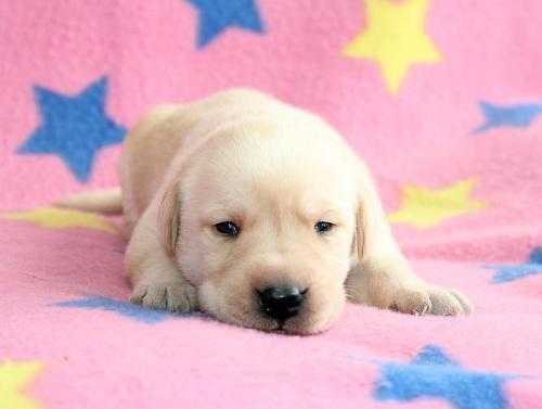 ラブラドールレトリバーの子犬(ID:1247611141)の2枚目の写真/更新日:2017-11-02