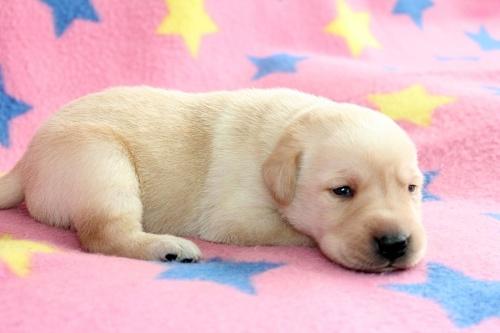 ラブラドールレトリバーの子犬(ID:1247611141)の3枚目の写真/更新日:2017-11-02