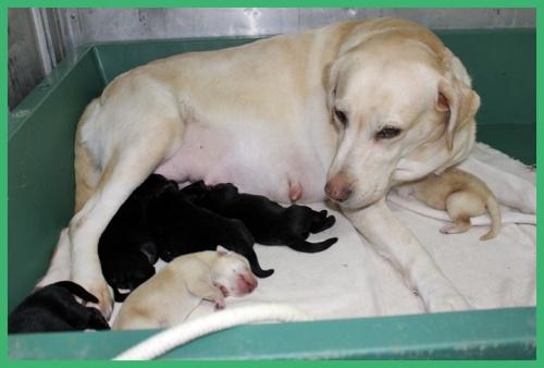ラブラドールレトリバーの子犬(ID:1247611141)の4枚目の写真/更新日:2017-11-02