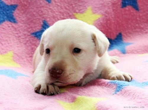 ラブラドールレトリバーの子犬(ID:1247611142)の1枚目の写真/更新日:2021-10-01