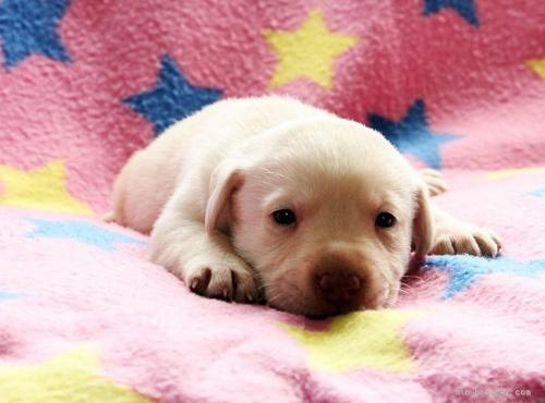 ラブラドールレトリバーの子犬(ID:1247611142)の2枚目の写真/更新日:2021-10-01
