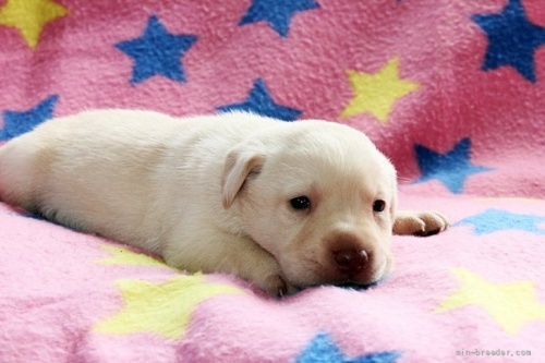 ラブラドールレトリバーの子犬(ID:1247611142)の3枚目の写真/更新日:2017-11-02