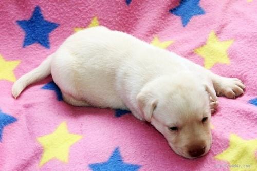 ラブラドールレトリバーの子犬(ID:1247611142)の4枚目の写真/更新日:2017-11-02
