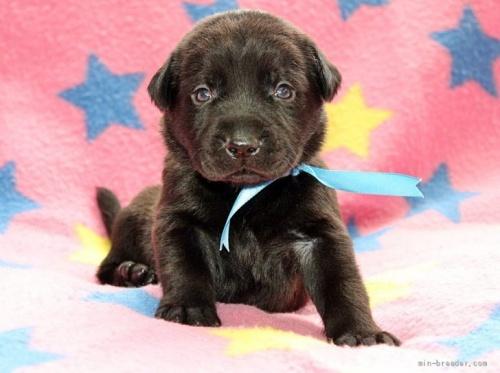 ラブラドールレトリバーの子犬(ID:1247611143)の1枚目の写真/更新日:2017-11-15