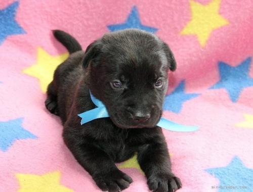 ラブラドールレトリバーの子犬(ID:1247611143)の2枚目の写真/更新日:2021-10-01