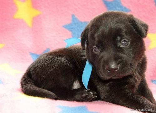 ラブラドールレトリバーの子犬(ID:1247611143)の3枚目の写真/更新日:2021-10-01