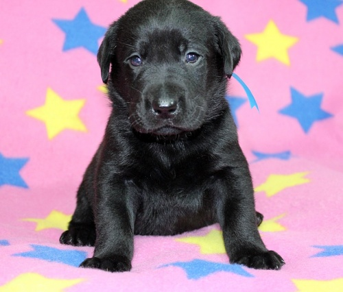 ラブラドールレトリバーの子犬(ID:1247611144)の1枚目の写真/更新日:2017-11-15