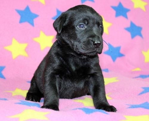 ラブラドールレトリバーの子犬(ID:1247611144)の2枚目の写真/更新日:2017-11-15